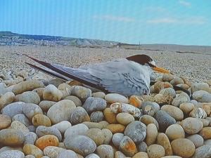 Little Tern on nest (taken from TV feed)