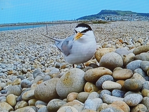 Little Tern at nest (Taken from TV feed)
