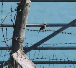 Common Redstart (m)