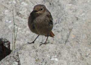Black Redstart (f)