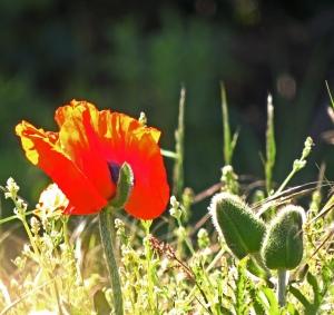 Large Poppy