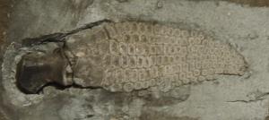icthyosaur paddle