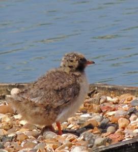 Common Tern chick