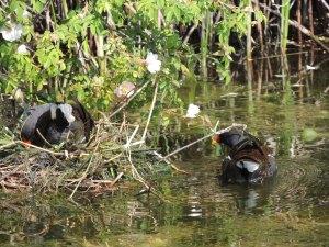 Moorhen nesting