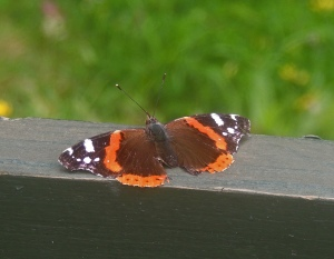Red Admiral. Photo by Sue