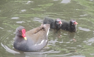 Moorhen with chick. Photo by Sue