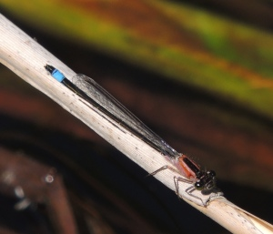 Blue Tailed Damselfly (f) -red form