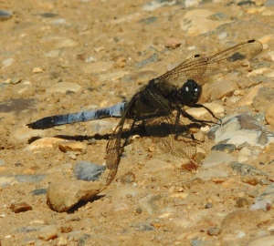 Black-tailed Skimmer