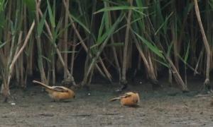 Bearded Reedlings