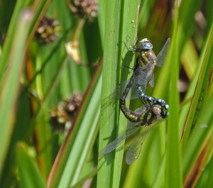 Migrant Dragonfly