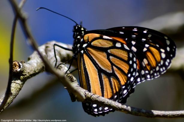 Wandering Monarch