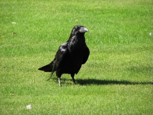 Raven. Photo by Jim Bowen (https://www.flickr.com/photos/jamiedfw/)