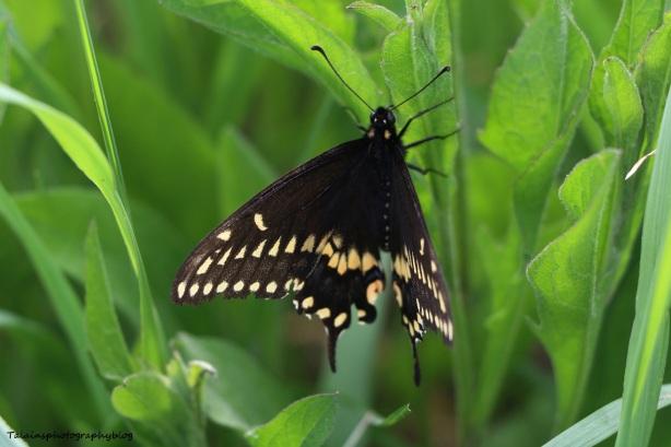 Butterfly 012