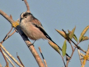 Long-tailed Tit (photo by Keith)