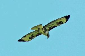 Common Buzzard (Photo by Keith)