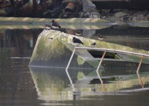 Oystercatcher and Turnstone on old boat