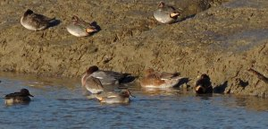 Teal and Wigeon