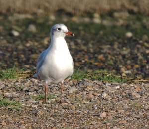 Another Mediterranean Gull