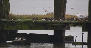 Turnstones and Ringed Plover on an old jetty