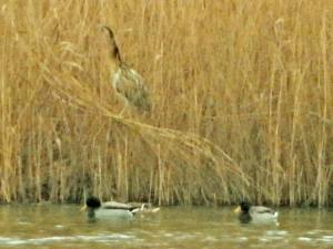 Distant view of perched Eurasian Bittern (photo by Keith)