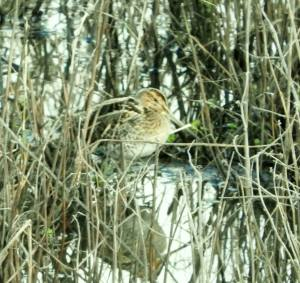 Common Snipe (photo by Keith)