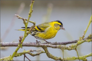 Siskin  Photo by Tony Smith (https://www.flickr.com/photos/pc_plod/)