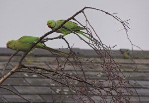 Ring-necked Parakeets