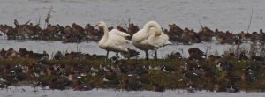Bewick's Swan (left) alongside larger Whooper Swan