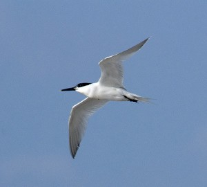 Sandwich Tern. Photo by Sergey Yeliseev (https://www.flickr.com/photos/yeliseev/)