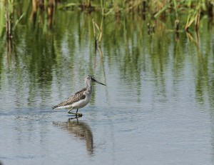 Greenshank. Photo by Tony Sutton.  (https://www.flickr.com/photos/59269512@N08/)