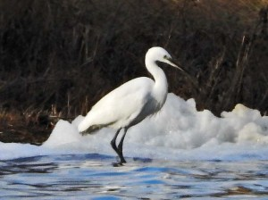 Little Egret. Phot by Keith