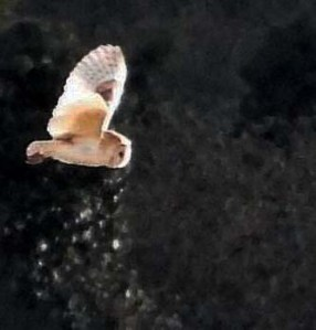 Barn Owl. Photo by Keith