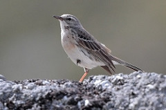 Water Pipit. Photo by Radovan Václav (https://www.flickr.com/p)