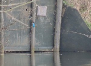 Kingfisher outside nest hole