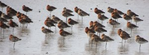 Black-tailed Godwits