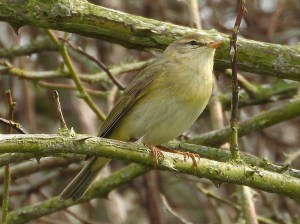 Willow Warbler. Photo by Keith