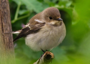 female Pied Flycatcher. Photo by Daniela (https://www.flickr.com/photos/daniela_naturephotography/)