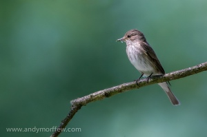 Spotted Flycatcher. Photo by Andy Morrffew (https://www.flickr.com/photos/andymorffew/)