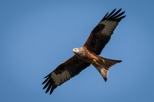 Red Kite. Photo by Michael Brace (https://www.flickr.com/photos/emaybe/)