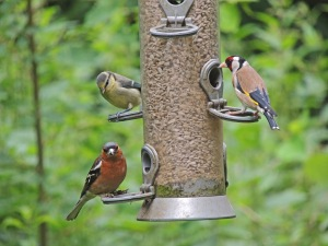 Chaffinch, Goldfinch and Blue Tit on feeder