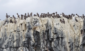 Guillemots nesting on Cliff Top