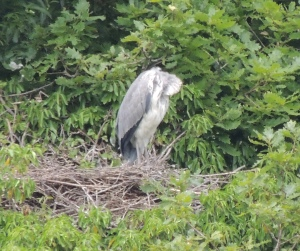 Sleeping Grey Heron on nest