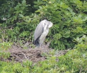 Sleeping Grey Heron on nest