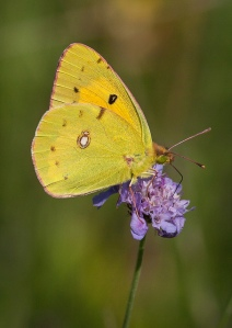 Clouded Yellow. Photo by Nick Ford (https://www.flickr.com/photos/nickpix2008/)