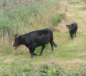 Cows Graze around Lagoon 1