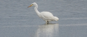 Great white Egret (adult)