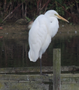 Great White Egret (Juvenile)