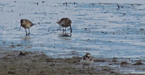 Curlew Sandpiper, Dunlin and Ringed Plover