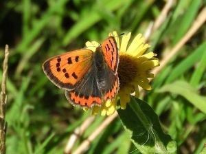 Small Copper (photo by Keith)