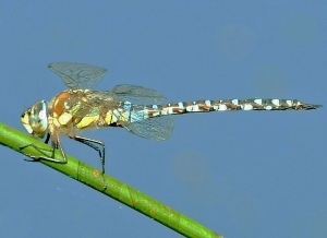 Migrant Hawker  (Photo by Keith)